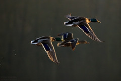 Mallards in flight