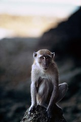 Long-tailed macaque (Macaca fascicularis) monkey contemplates ev (David Halbakken) Tags: travel sea wild vacation holiday tourism beach nature animal animals rock vertical comfortable fun thailand outdoors one monkey evening asia southeastasia mood moody natural expression wildlife peaceful content personality shore tropical pensive leisure resting climber contemplate stillness tropics tranquil poise alert pest andaman andamansea tonsai longtailedmacaque macacafascicularis composure