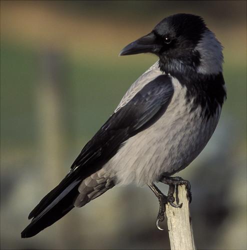Hooded Crow - Corvus corone cornix