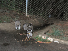 racoons 1 (HardDriveUSA) Tags: welcome comments