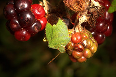 """Shieldbug on Berries • <a style=""""font-size:0.8em;"""" href=""""http://www.flickr.com/photos/57024565@N00/261339352/"""" target=""""_blank"""">View on Flickr</a>"""