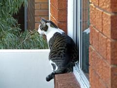 This is Getting Ridiculous (End of Level Boss) Tags: foofoo cat garden verandah nsw kogarah sydney australia 2006 cats pussy feline      cute domestic pet gatti cath  mo  kedi   katt maka   pisic kot kucing kat mace   gat koka kass pusa kissa chat gato katze    macska kttur  kais kat
