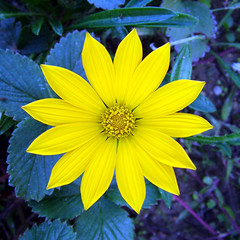 little star (melasmus) Tags: blue flower colour macro nature yellow wow star leaf bravo little symmetry yalova tbg yildiz kk yldz thebiggestgroup melasmus theinterestingest