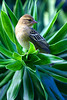 (PauloSantos) Tags: birds canon ilovenature bravo searchthebest quality 50100fav mauritius 1000v100f abw naturesfinest foudiamadagascariensis 117f 555v5f magicdonkey 2000v featheryfriday eos30d 1500v60f specnature specanimal animalkingdomelite abigfave madagascarfody 123f50 interestingnees4