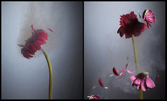 liquid nitrogen flowers - by kasi metcalfe