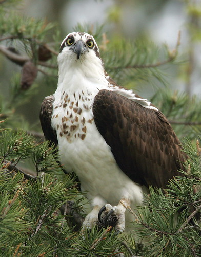 Osprey By Mark Trabue