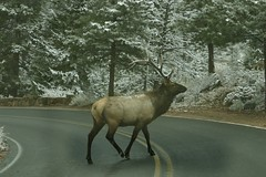 Elk Have The Right Of Way (GinnyRED57) Tags: snow rockymountainnationalpark lateautumn blogula blogularasa