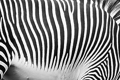 Like A Horse But Different (*ian*) Tags: blackandwhite bw abstract topv111 tag3 taggedout zoo blog tag2 tag1 zebra favourite marwell grevys bigemrg specanimal oct2006blog gettypickno