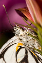 Caper White Butterfly - 1:1 macro ... (young_einstein) Tags: flower macro eye 20d nature canon butterfly garden insect wings 11 100mm ~ ef100mmf28macrousm caperwhite belenoisjavateutonia