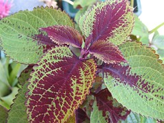 Coleus 'Dark Star Baby #2 (Tall)'