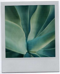 If you can't leave it be, might as well make it bleed (~KIM~) Tags: blue plant green nature closeup polaroid sx70 utatafeature displayedinstant100best qum01