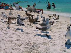 DESTIN, FLORIDA 2006** (gobucks2) Tags: seagulls gulfofmexico birds sand wildlife 2006 beaches miramarbeach destinflorida august2006 destinflorida2006