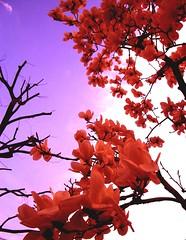 bouquet (totomai) Tags: red flower topf25 japan skies magnolia blogged bouquet helluva naturesfinest bigmomma blueribbonwinner cotcmostfavorited instantfave a cy2 challengeyouwinner abigfave 5for2 impressedbeauty superaplus aplusphoto potwkkc19 3wayassignment21