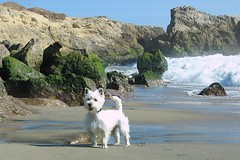 Yoshi at Leo Carillo Beach (Randy Son Of Robert) Tags: california dog pet white beach westie canine frisky yoshi supershot weewestie