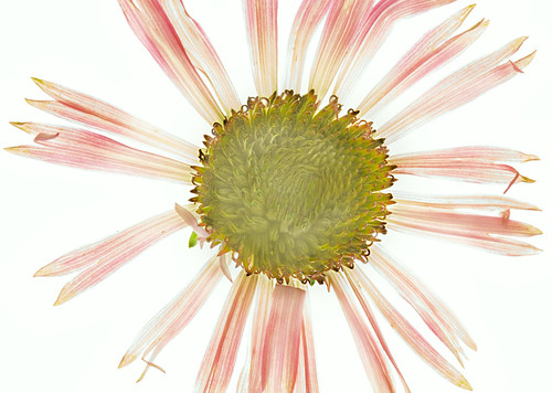 Cone Flower Photogram.jpg