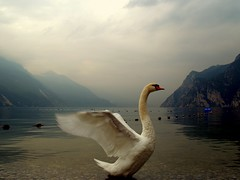 The king of the lake... (gardawind) Tags: topf25 geotagged lago swan bravo waterbird swans topf100 schwan cygne gardameer lakegarda gardalake lagodigarda cigni gardasee zwaan rivadelgarda cygnus cigno laghi magicdonkey gardawind specanimal animalkingdomelite  akblogged geo:lat=45879045 geo:lon=10853376 frhwofavs