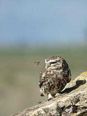 Mocho-galego / Little Owl
