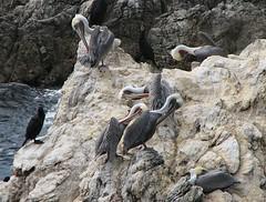 Pelicans Preening (catbutler) Tags: pelican pointlobos centralcalifornia montereypeninsula abigfave