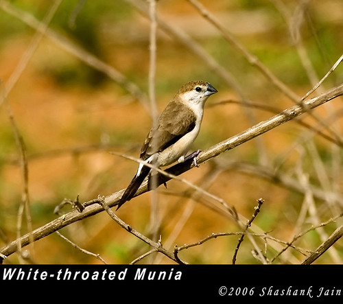 White-throated Munia