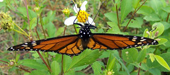 the last of the season (getthebubbles) Tags: fall butterfly florida monarchbutterfly getthebubbles utatathursdaywalk28