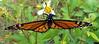 the last of the season (getthebubbles) Tags: fall butterfly florida monarchbutterfly getthebubbles utatathursdaywalk28