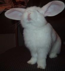 Bailey Big Ears (pippicat) Tags: cute rabbit bunny bailey
