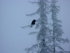 Raven (Bemep) Tags: winter snow tree bird birds bc minolta konica a200 raven bigwhite bemep