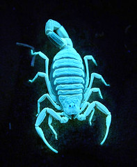 Alexial via Blacklight (Furryscaly) Tags: blue animal closeup night bug dark dangerous neon glow shine bright fat arachnid uv extreme young creepy scorpio scorpion reflect fluorescent blacklight exoskeleton reflective immature juvenile ultraviolet shining claws animalia pincers arthropoda luminescence bluegreen poisonous deadly venomous beadyeyes arachnida invertebrate florescent arthropod coldlight luminescent palps buthidae leiurus chelicerae neurotoxin scutes pedipalps ld50 scorpiones exoticpet chelae leiurusquinquestriatus alexial deathstalkerscorpion israelidesertscorpion palestineyellowscorpion palestinianyellowscorpion omdurmanscorpion egyptiandeathstalker neurotoxicvenom buthid tergites lquinquestriatus arabiandeathstalkerscorpion taxonomy:kingdom=animalia taxonomy:class=arachnida taxonomy:phylum=arthropoda taxonomy:order=scorpiones taxonomy:binomial=leiurusquinquestriatus taxonomy:family=buthidae taxonomy:genus=leiurus