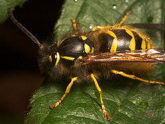 "Hairy Wasp • <a style=""font-size:0.8em;"" href=""http://www.flickr.com/photos/57024565@N00/296513731/"" target=""_blank"">View on Flickr</a>"