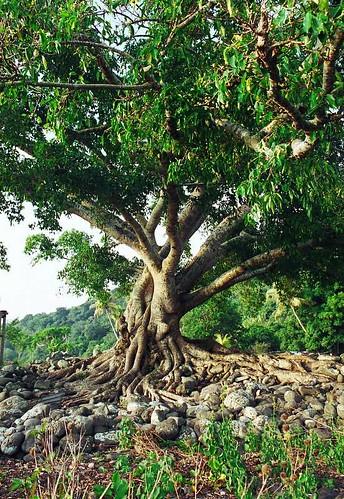 Tree - Dillons Bay, Vanuatu