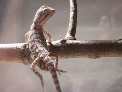 100_6156 (brick1083) Tags: lizard beardeddragon helio