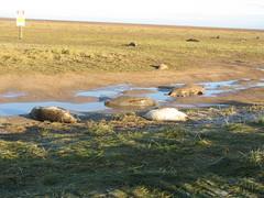 Seals (fuzzypurple) Tags: seals donnanook