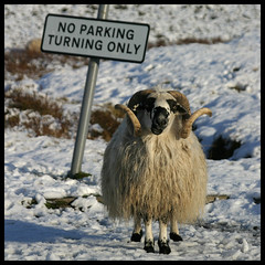 Ewe can't park here. (rg250871) Tags: snow wool scotland sheep cairngorms glenfeshie feshie robbiegraham