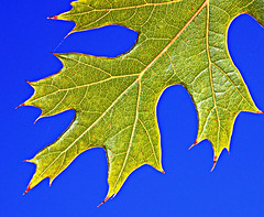 Green Leaf Blue Sky (Jeff Clow) Tags: macro closeup ilovenature leaf bravo searchthebest explore dfw payitforward nikkor18200mmvr specnature abigfave nikond80
