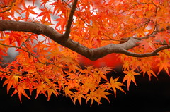 orange and black (kaycatt*) Tags: autumn red tree leaves japan temple maple bravo kyoto d70s autumnleaves autumncolors momiji japanesemaple soe autumncolor  gtaggroup goddaym1 abigfave bestofautumn