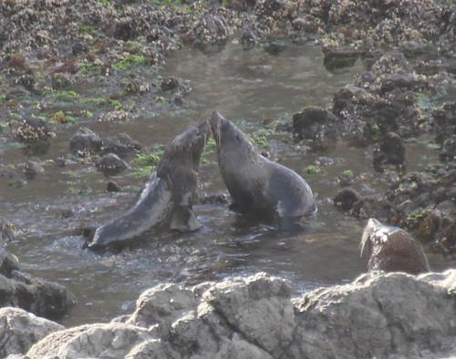 Fur Seals 1