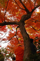 dressed in orange (kaycatt*) Tags: autumn trees japan maple kyoto autumnleaves autumncolors momiji tofukuji japanesemaple kansai autumncolor