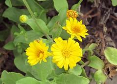 Golden Aster (dog.happy.art) Tags: wildflower wildflowers flowering bloom blooms blooming padreisland texas