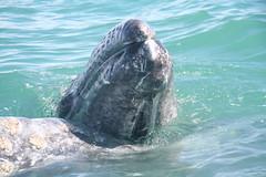 Gray Whale calf (with Mum) (Leon Z Newman) Tags: graywhalecalf greywhalecalf mexico baja mum mom babywhalehair sanignacio haironwhale mammal greywhale graywhale hair fur sanignaciomexico momandbaby mumandbaby