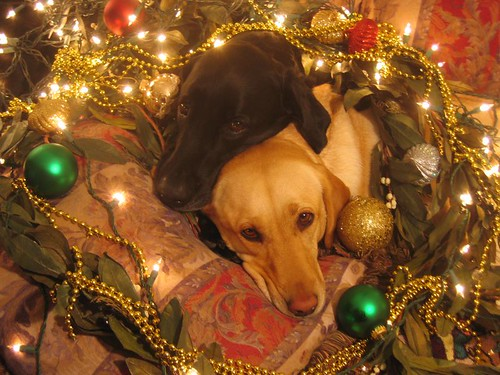 yellow and chocolate labrador retriever - Christmas