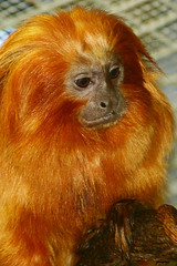 Golden Lion Tamarin (MNesterpics) Tags: animal animals washingtondc smithsonian dc districtofcolumbia 2006 nationalzoo animalplanet goldenliontamarin leontopithecusrosalia smithsoniannationalzoologicalpark calendarshot animaladdiction
