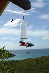20070113 - It was all-out war. (sadalit) Tags: vacation birds cabin view birdfeeder stjohn caribbean sucrier sugarbird boneofcontention sj07daythree