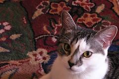 Russian Cat
