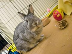 In the Playpen (Mark Philpott) Tags: boy black rabbit bunny bunnies netherlands girl canon grey dwarf tan poppy 5d dslr sooty playpen eo