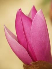 hope (M. TANIGUCHI) Tags: pink flower magnolia supershot impressedbeauty flickrdiamond topogigio2007