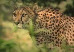 Cheetah! (hvhe1) Tags: cats nature cat ilovenature wildlife cheetah bigcats hennie jachtluipaard hvhe1 hennievanheerden