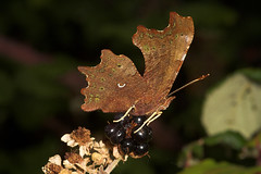 "Comma Butterfly (Polygonia c-album) Underwing • <a style=""font-size:0.8em;"" href=""http://www.flickr.com/photos/57024565@N00/253237994/"" target=""_blank"">View on Flickr</a>"