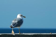 Keep Walking :) (Sevastopol) Tags: blue sea bird nikon gull d70s ukraine sevastopol crimea laridae charadriiformes laruscachinnans 80400mmf4556dvr yellowleggedgull