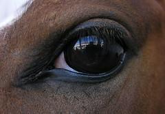 Aquele zaino (Eduardo Amorim) Tags: brazil horses horse southamerica brasil caballo cheval caballos cavalos pferde cavalli cavallo cavalo pferd riograndedosul hest hevonen brsil chevaux  amricadosul hst  amriquedusud   sudamrica suramrica amricadelsur  sdamerika expointer   americadelsud expointer2006  americameridionale eduardoamorim