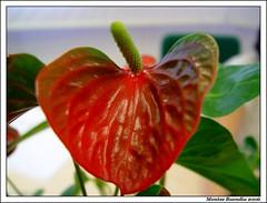 Hoja, corazn rojo (.Melian.) Tags: flowers naturaleza flores nature digital hojas rojo corazn sonycybershot montse locura mbd melian sonycybershotdscf707 montsebuenda